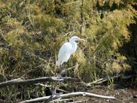 Heron - Permuda Island